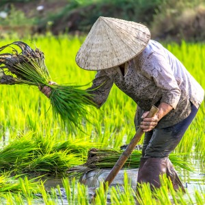 Woman working on rice field